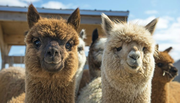 On your next Idaho Road Trip, be sure to check out the llamas, one of the best Things To Do In Idaho.